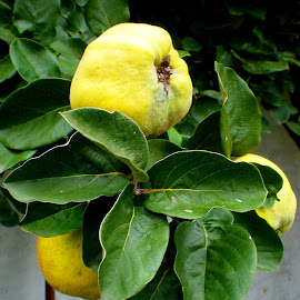quince by Dubravka Penzić - Food & Drink Fruits & Vegetables (  )