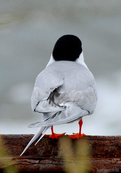 1. forster's tern-kab
