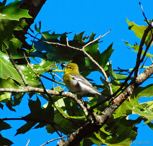 3. yellow-throated vireo-kab