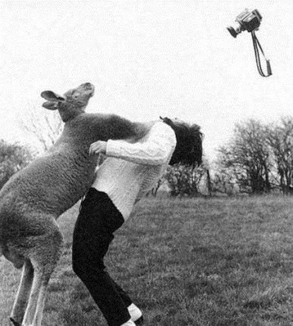Kangaroo attacking a female