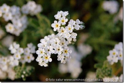 0916 Caideros-Agaete( Hierba Verruguera)