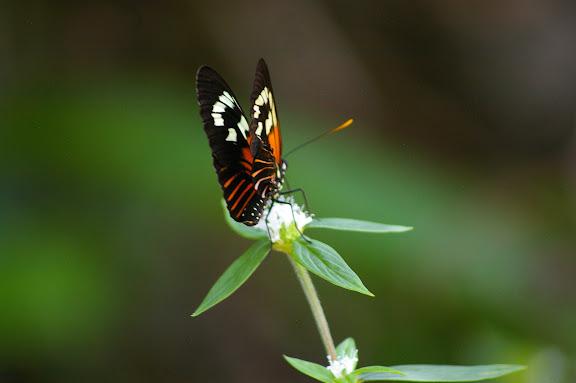 Heliconius neruda aoede aoede, HÜBNER, 1813. Layon au sud d'Amazone Nature Lodge, Montagne de Kaw. 17 novembre 2011. Photo : J.-M. Gayman