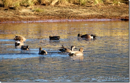 Gadwall and Wigeon