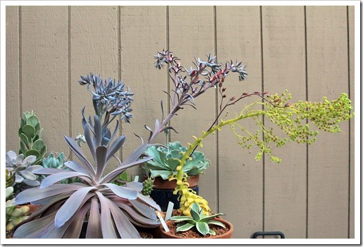 120813_Echeveria-Afterglow