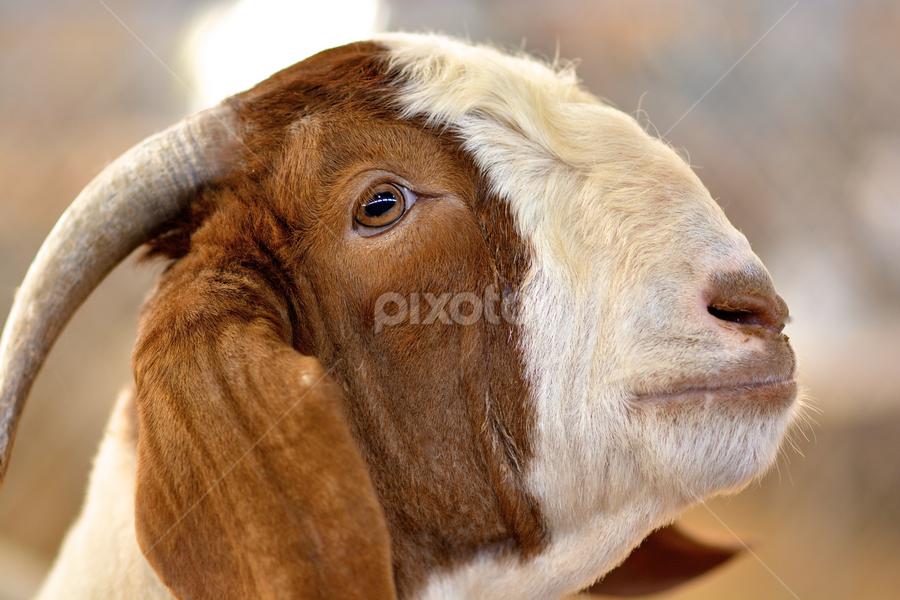 Stock Show Goat by Jim Pruett - Animals Other Mammals