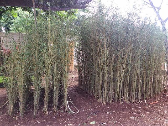 jual pohon bambu cina | pohon bambu klisik kuning kecil | pohon bambu jepang untuk pagar | bambu panda kuning | bambu nagin | jual tanaman hias | ohon pelindung | pohon peneduh | tikang taman murah | tuang tanam rumput taman