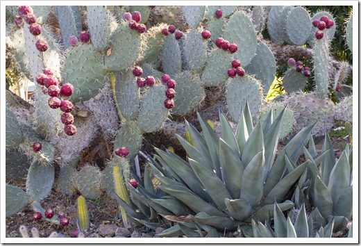 121013_RBG_fall_sale_opuntia-with-fruit