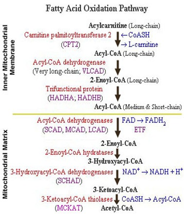 fatty acid oxidation pathway