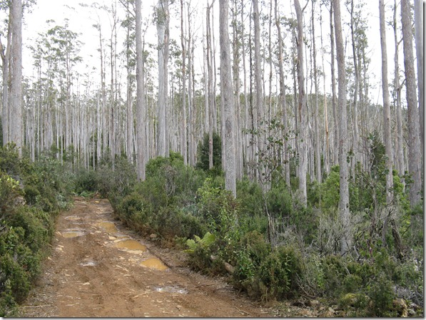 Lovely eucalypts on   White Timber Trail