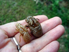 13-year and dog-day cicada shells