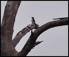 03f3 - Red Headed Woodpecker