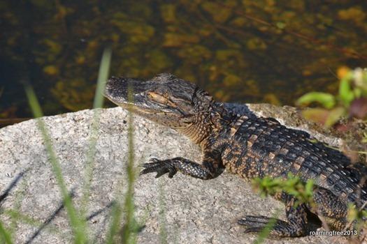 Roaming Free 2010 Gators Gators And More Gators Everglades Visit