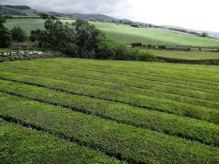 23. Plantatii de ceai in Europa.JPG