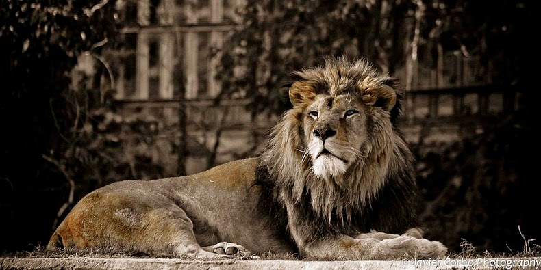 asiatic-lion-2