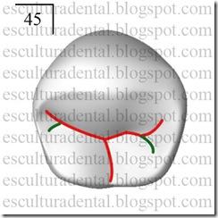 04 - caracteres diferenciais entre o primeiro premolar e segundo premolar inferior