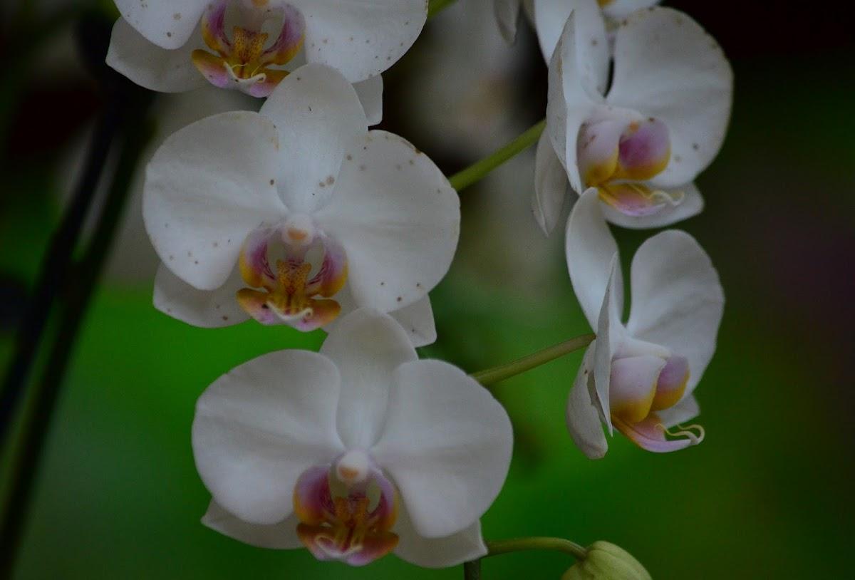 Orquídea,  Phaleonopsis  híbrida