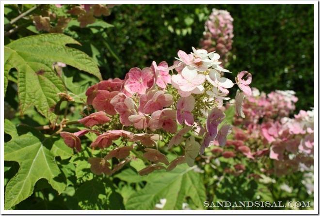 Oakleaf Hydrangea closeup