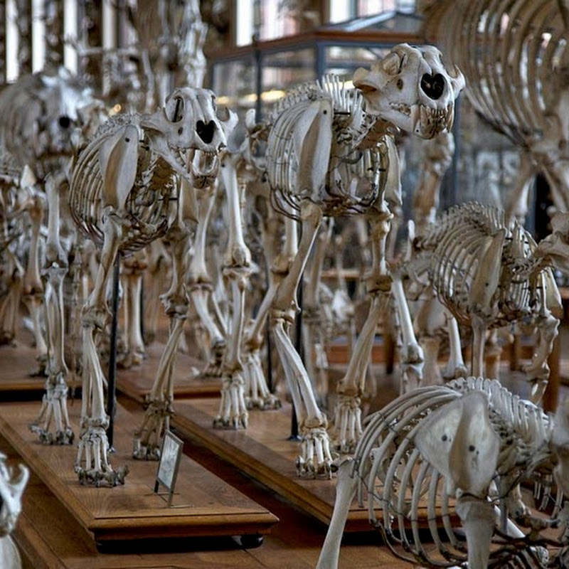 Parade of Skeletons at the Gallery of Paleontology and Comparative Anatomy