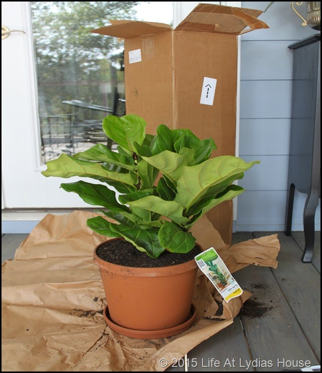 fiddle leaf fig tree delivery c