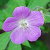 Carolina Cranesbill Flower