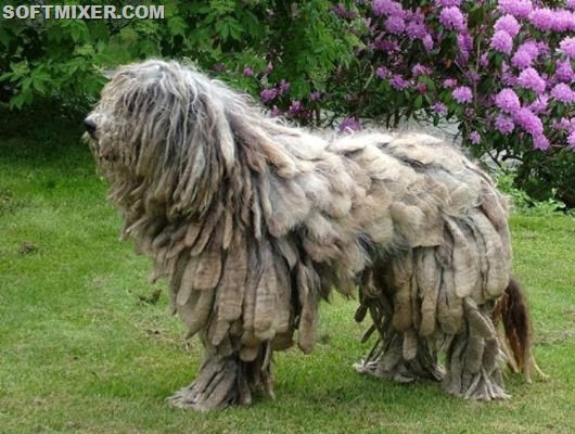 bergamasco_sheepdog_03