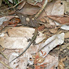 Four-lined Ameiva or Four-lined Whiptail