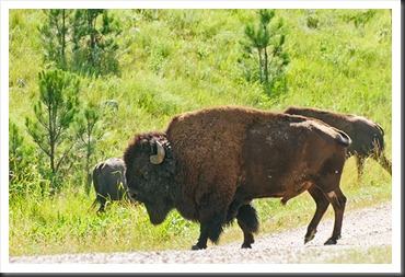2011Jul31_Custer_State_Park_bison-1