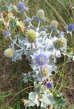 Sea Holly