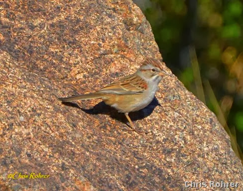 5. Rufous-winged sparrow CRohrer