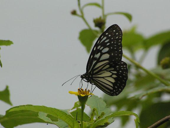 Ideopsis juventa kinitis FRUHSTORFER, 1904. Pulau Mantanani (Sabah, Malaisie) 29 juillet 2011. Photo : J.-M. Gayman