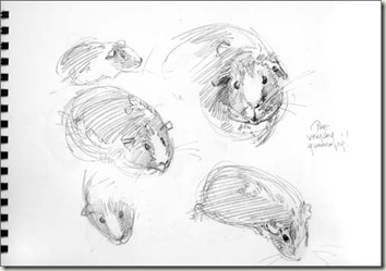 guinea pig2 bg