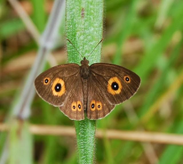 Heteropsis ankova (WARD, 1870), endémique (?). Parc de Mantadia (Madagascar), 27 décembre 2013. Photo : T. Laugier