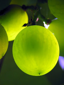 a backlit closeup of a grape from the vine in my driveway