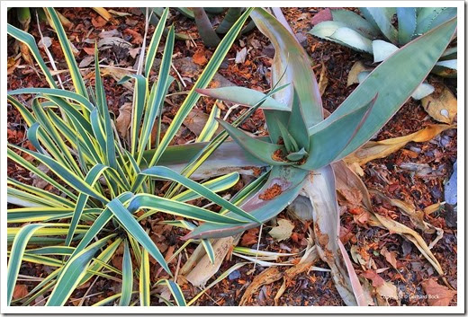 131002_driveway_succulent_bed_before_11