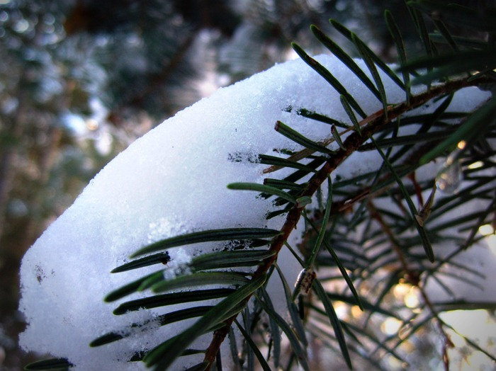 snow covered pine needles in Big Cottonwood Canyon