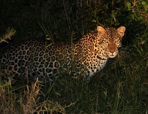 Leopard sighting in Lake Mburo National Park, Uganda