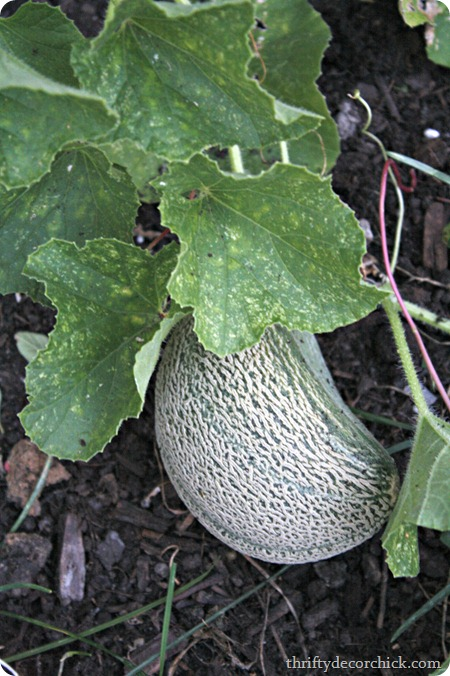 growing cantaloupe