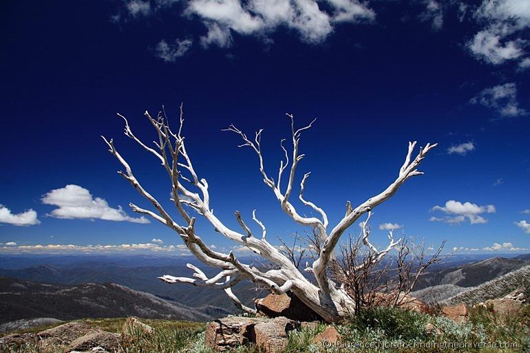 Snow gum on Mount Bogong - Victoria - Australia