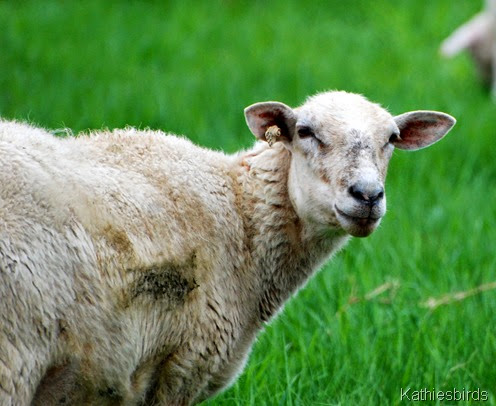 12. sheep-kab