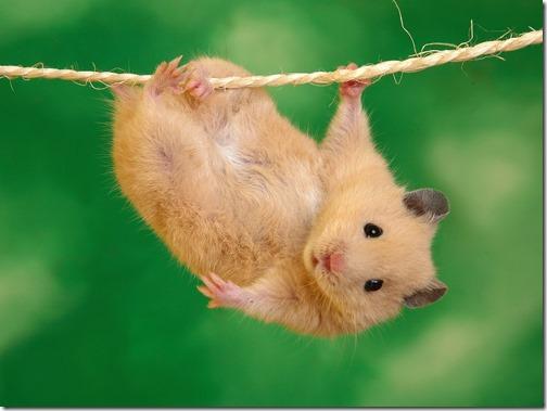 hamster grande imagen (12)