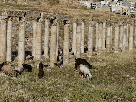 Obiective turistice Jerash: Capre in orasul roman