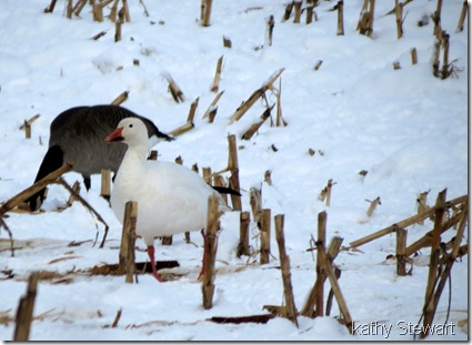Canada Goose and Snow Goose