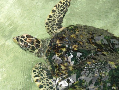 Bequia_turtlefarm_2