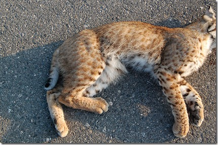 Lince atropellado