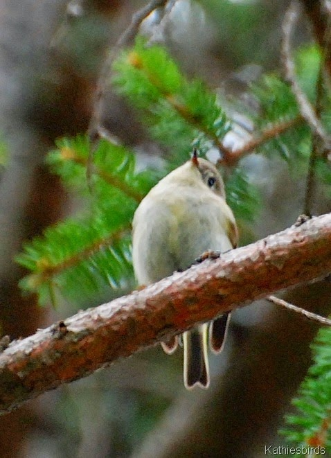 8. least flycatcher-kab