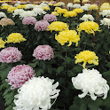 Japan:Chrysanthemum Show icon