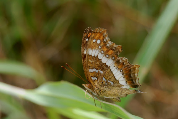 Precis andremiaja BOISDUVAL, 1833, endémique. Moramanga, 12 février 2011. Photo : T. Laugier