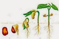Image result for pertumbuhan dan perkembangan tumbuhan