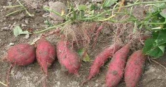 Example of Adventitious Root Tubers | ExamplesOf.net