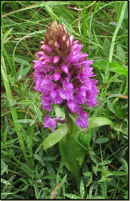 Orchid in Ainsdale Dunes